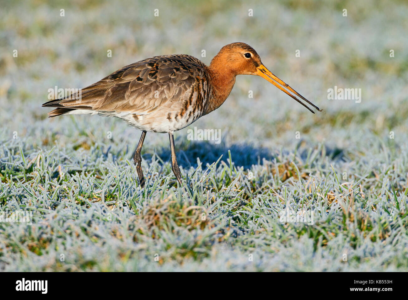 Black-tailed Godwit (Limosa limosa) foraging on frozen meadow, The Netherlands, Gelderland, Arkemheen - Stock Image