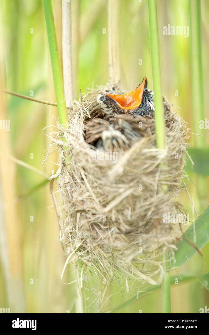 Common Cuckoo (Cuculus canorus) chick at nest,screaming for food, The Netherlands, Zuid-Holland - Stock Image