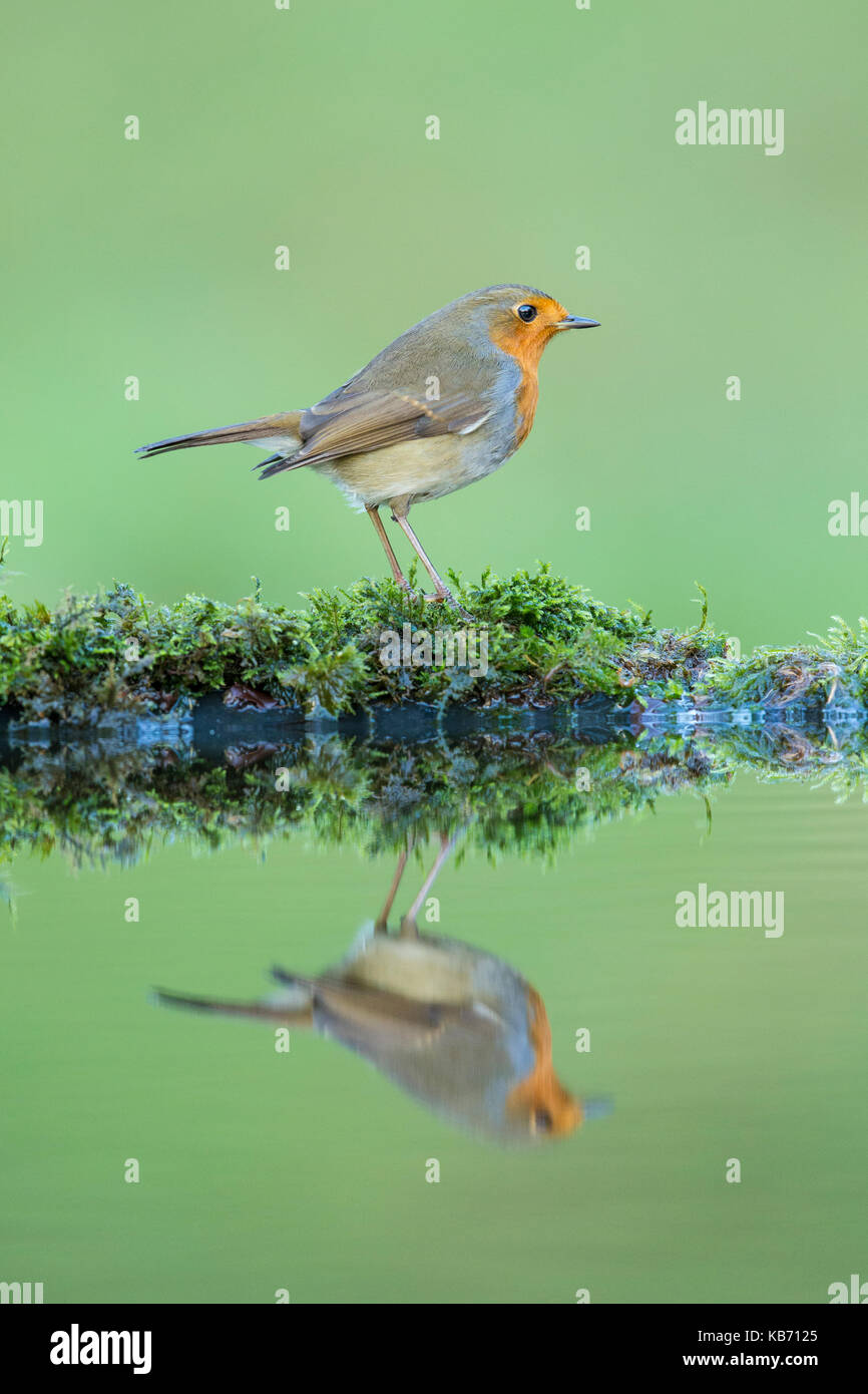 European Robin (Erithacus rubecula)  standing on the edge of a pool, Scotland, Dumfries and Galloway - Stock Image
