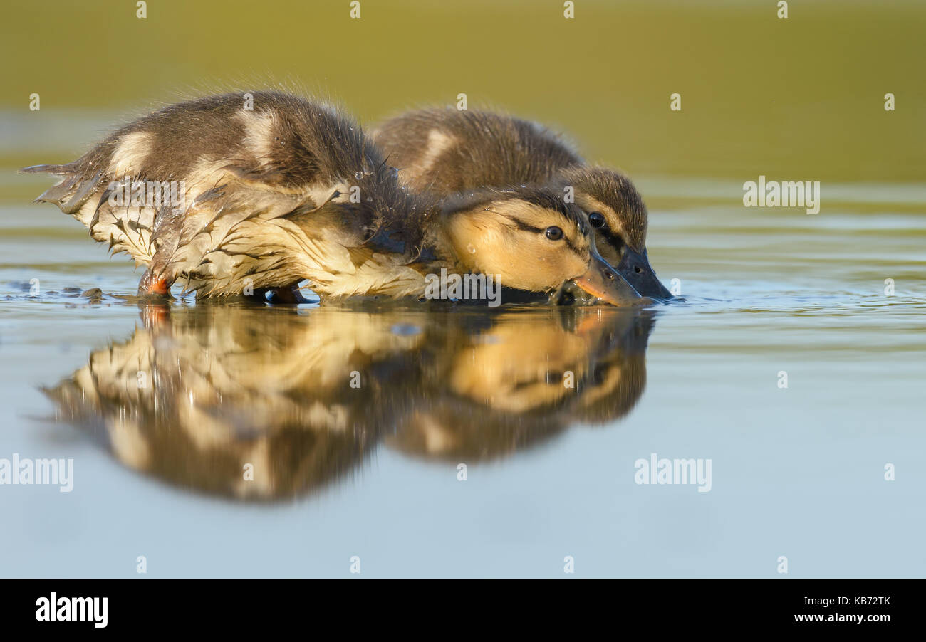 Two Wild Ducklings (Anas platyrhynchos) foraging in shallow water, The Netherlands, Noord Holland, Spaarndam, Landje - Stock Image