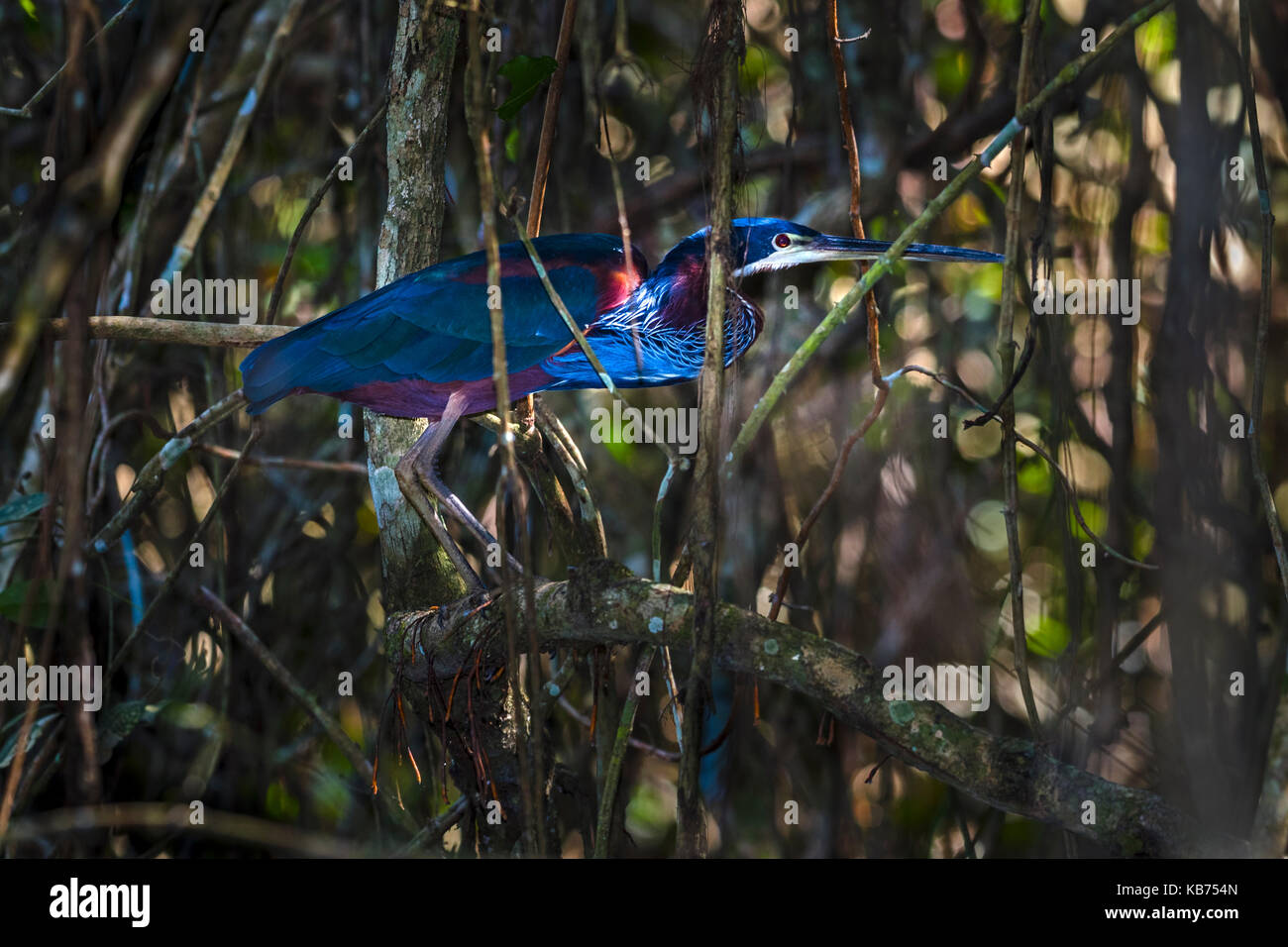 Agami Heron (Agamia agami) perched on branch, Brazil, Mato Grosso, Pantanal - Stock Image