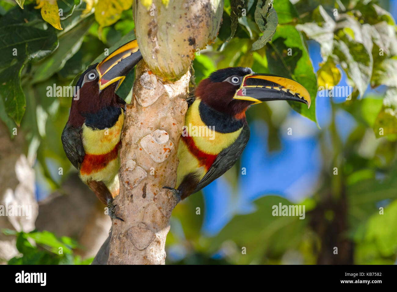 Chestnut-eared Aracaris (Pteroglossus castanotis) pair in a tree, Brazil, Mato Grosso, Pantanal - Stock Image
