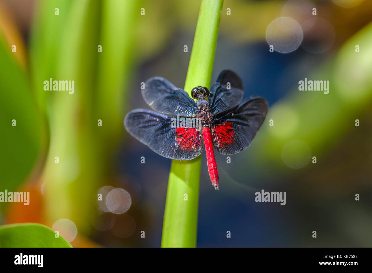 Dragonfly (Diastatops intensa) perched on stem, Brazil, Mato Grosso, Pantanal - Stock Image