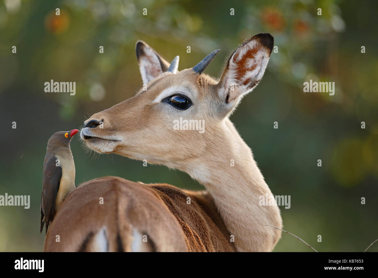 Impala (Aepyceros melampus) looking at Red-billed Oxpecker (Buphagus erythrorhynchus), South Africa, Mpumalanga, - Stock Image