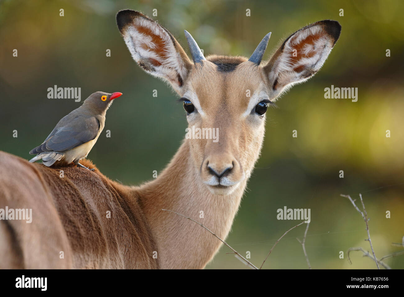 Impala (Aepyceros melampus) with Red-billed Oxpecker (Buphagus erythrorhynchus), South Africa, Mpumalanga, Kruger - Stock Image