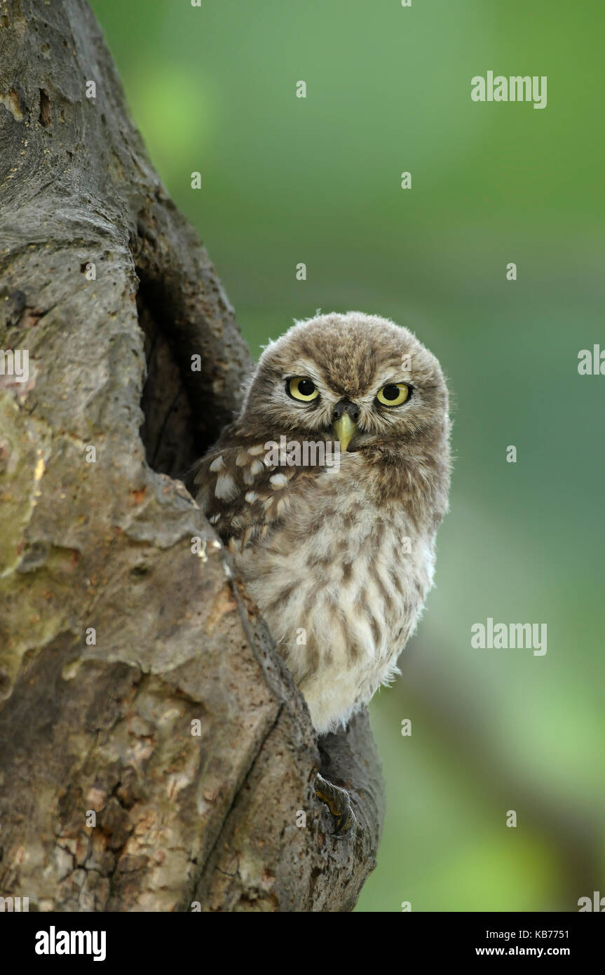 Little Owl (Athene Noctua) sitting in tree cavity, The Netherlands - Stock Image
