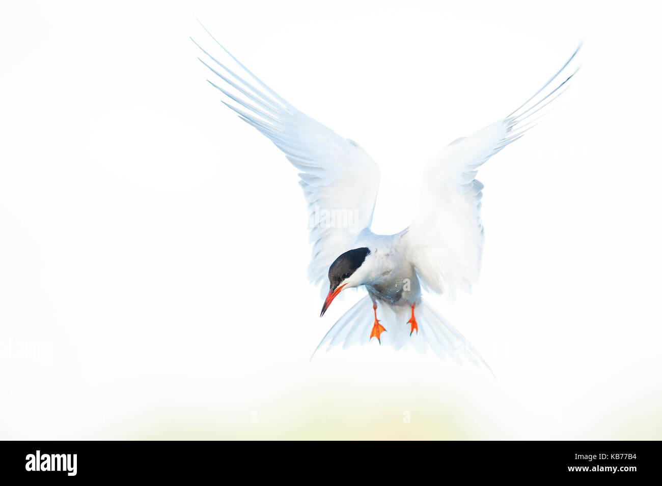 Common Tern (Sterna Hirundo) hover, The Netherlands, Zuid-Holland - Stock Image