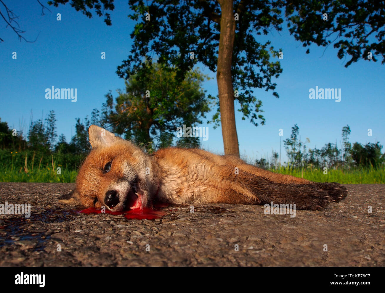 Red Fox (Vulpes vulpes) cub lying dead on a road, probaly hit by a car, The Netherlands, Utrecht, Odijk - Stock Image