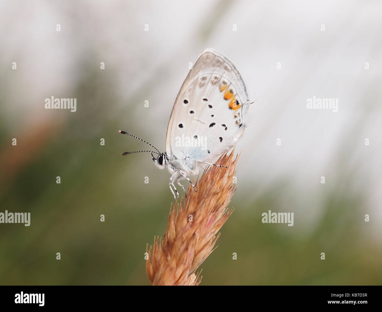 Baton Blue (Pseudophilotes baton) resting in the grass, France - Stock Image