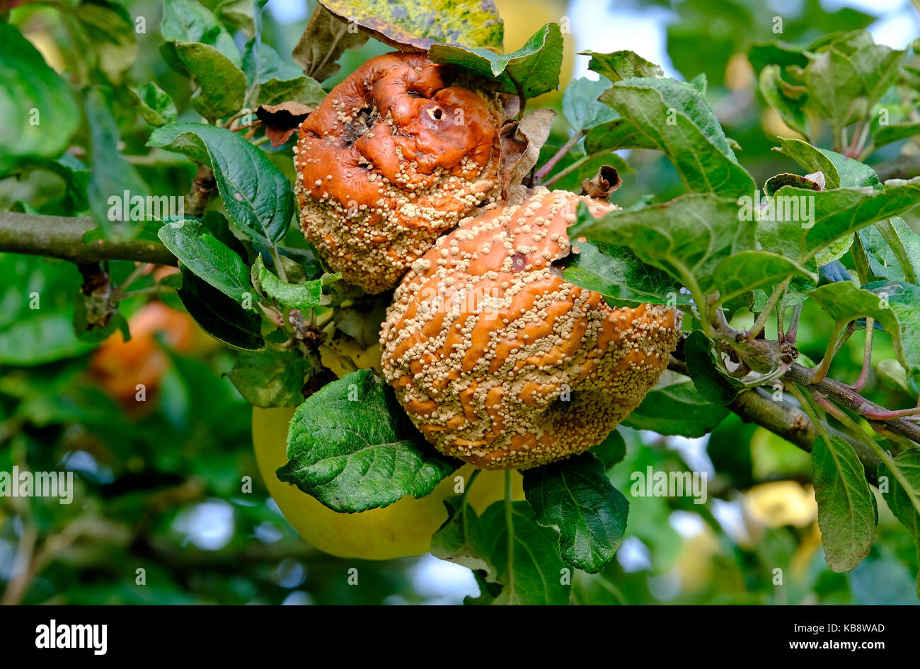 rotting decayed apples on tree in garden orchard, norfolk, england - Stock Image