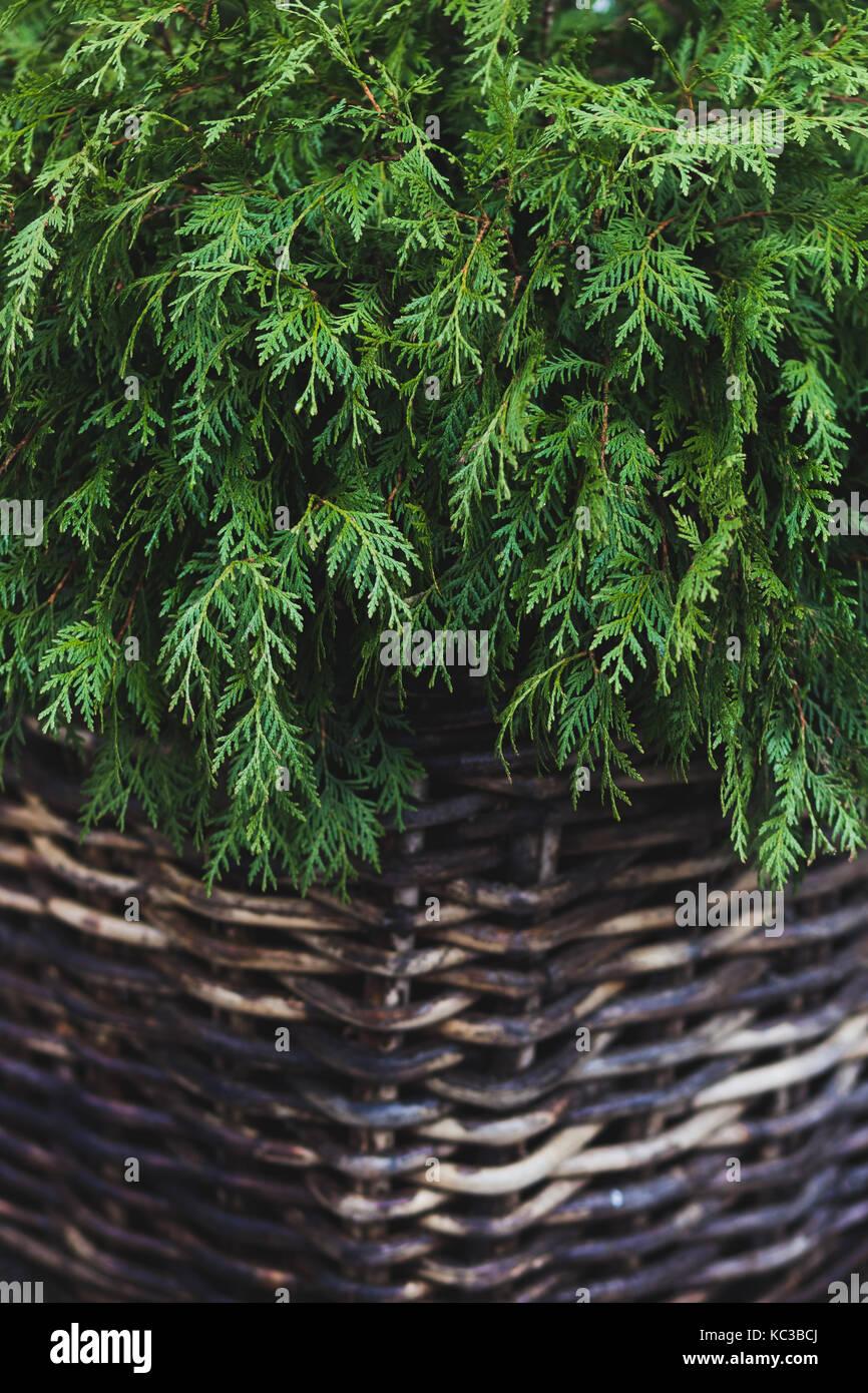 Decorative fir in a wicker basket - Stock Image