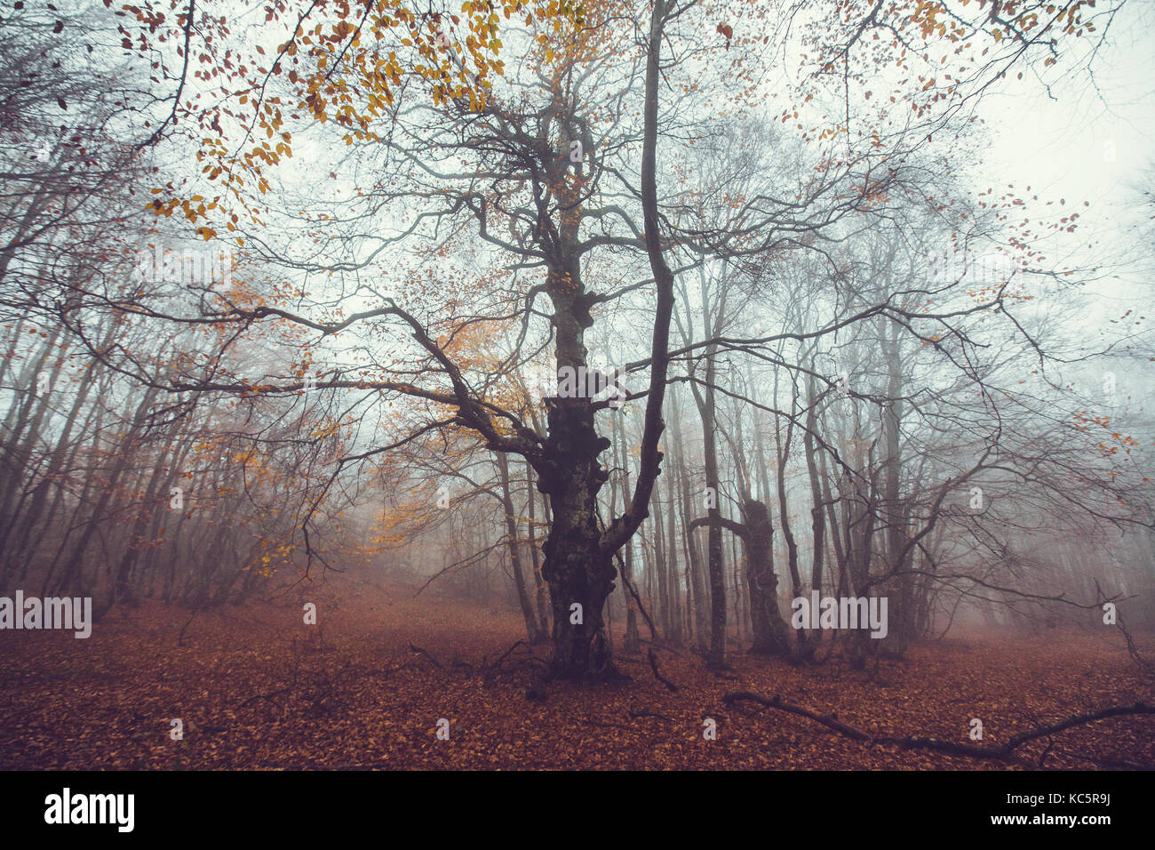 Beautiful autumn forest in the fog - Stock Image