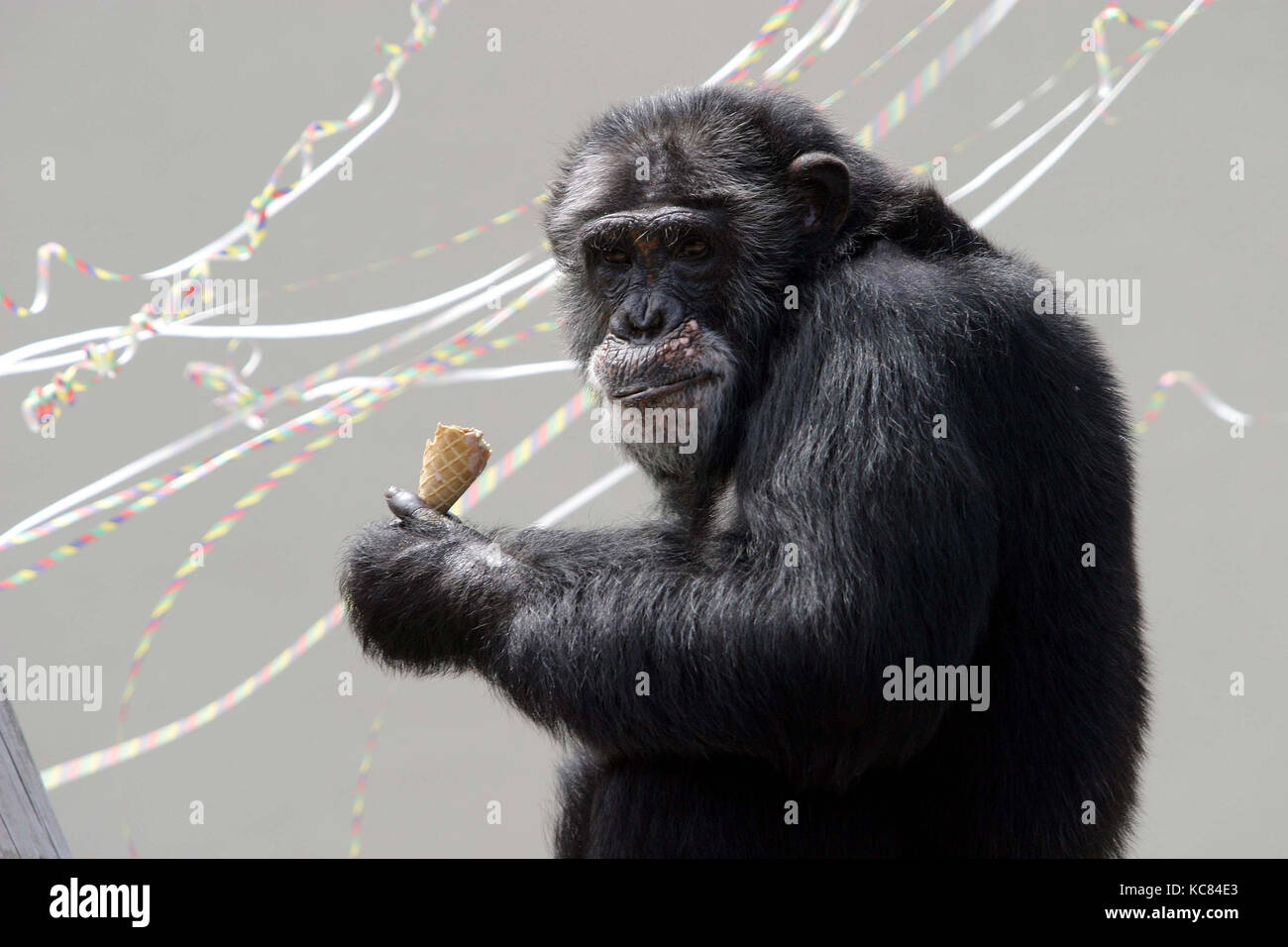 Topsy the chimpanzee celebrates her 40th birthday at Drayton Manor Park and Zoo, June 2005. Stock Photo