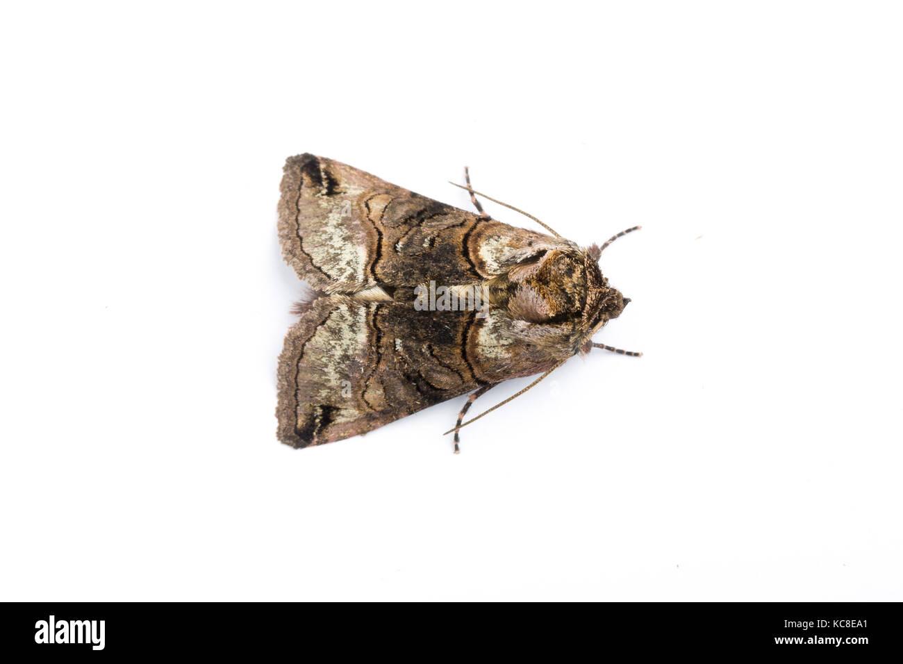 Spectacle moth, Abrostola tripartita, Monmouthshire, April.  Family Noctuidae. Focus-stacked image on white background - Stock Image