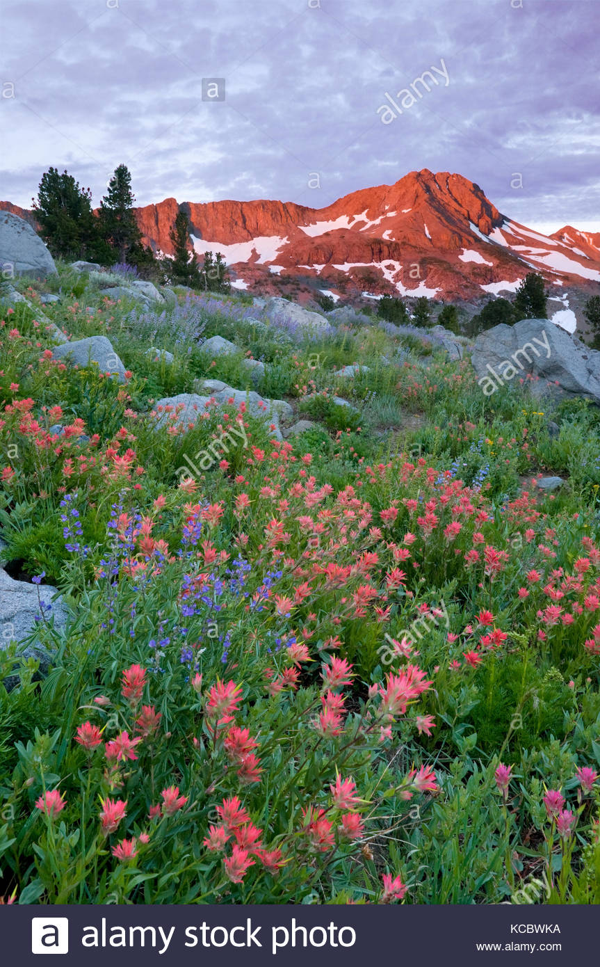 Dawn Light on Mountain and Paintbrush, Mokelumne Wilderness, Eldorado National Forest, California - Stock Image
