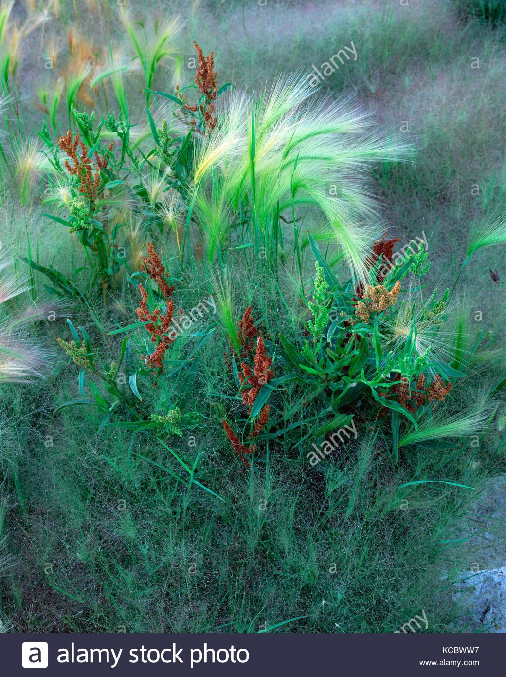 Mixed Grasses at Mono Lake, Mono Basin National Forest Scenic Area, California - Stock Image