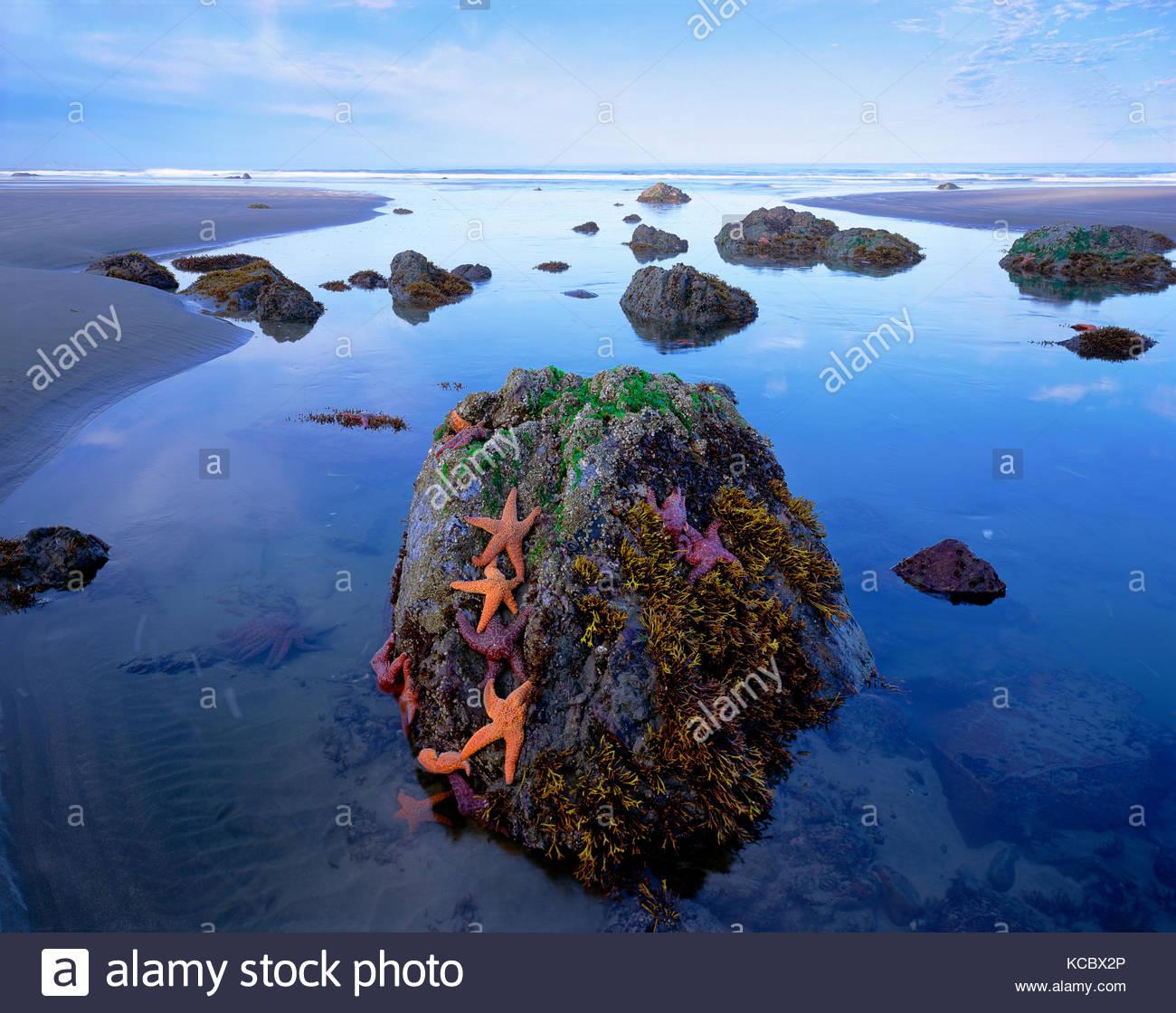 Sea Stars and Rocks at Sunrise, Olympic National Park, Washington - Stock Image