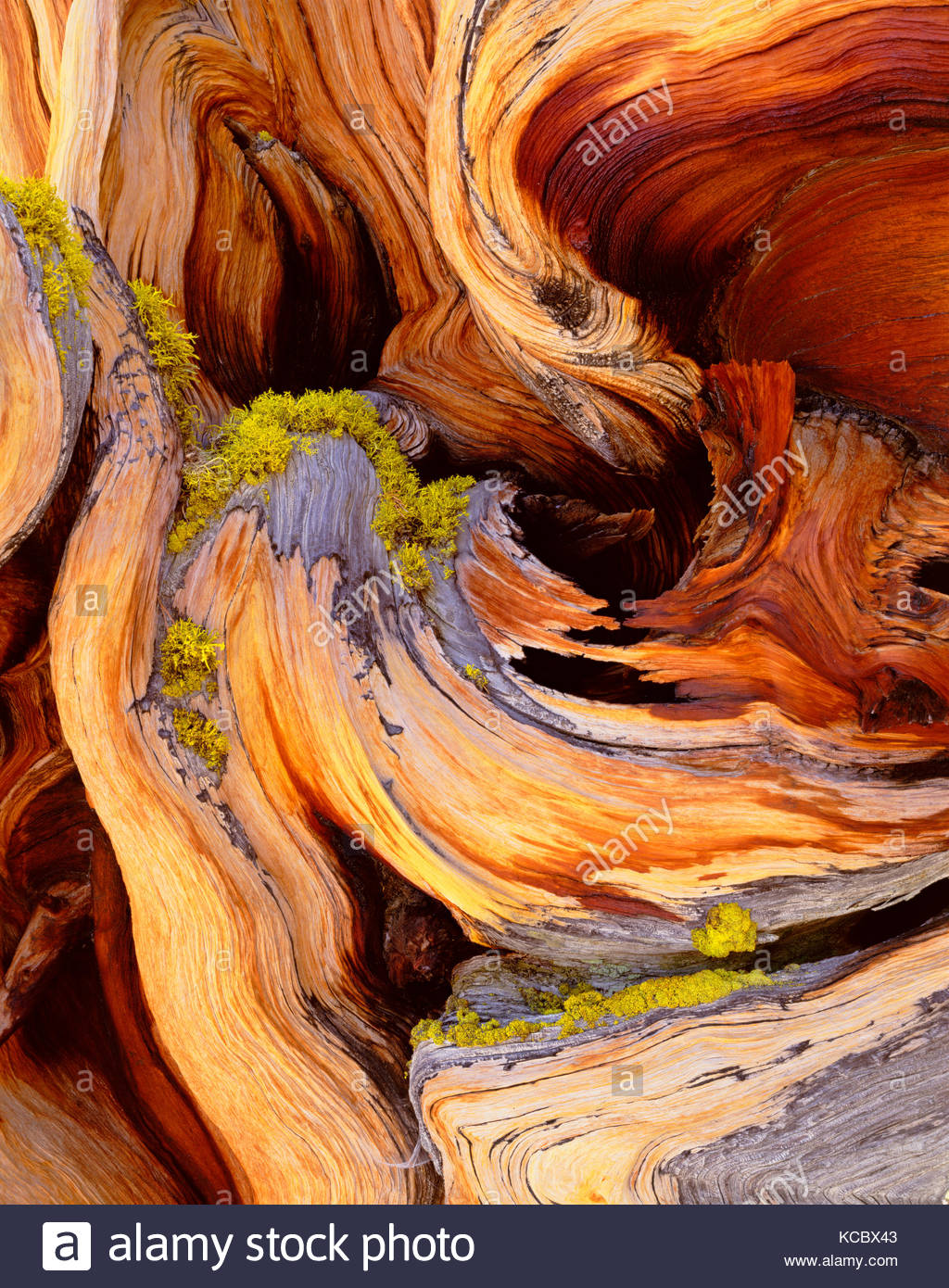 Detail of Ancient Bristlecone Pine, Great Basin National Park - Stock Image