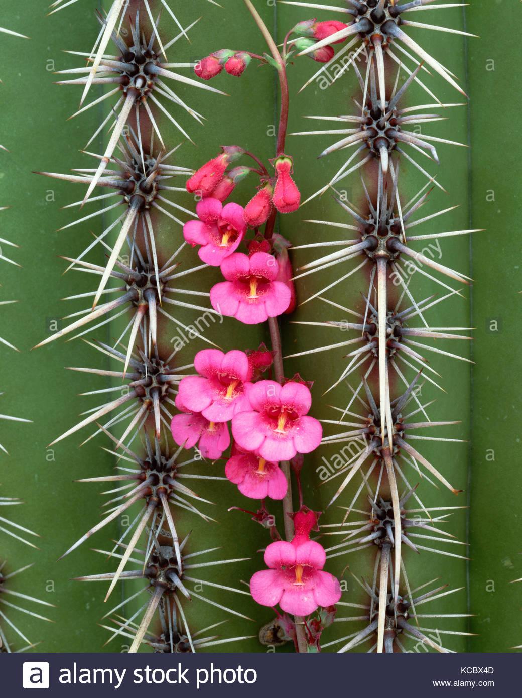 Penstemon Growing on Saguaro Cactus, Saguaro National Park, Arizona - Stock Image