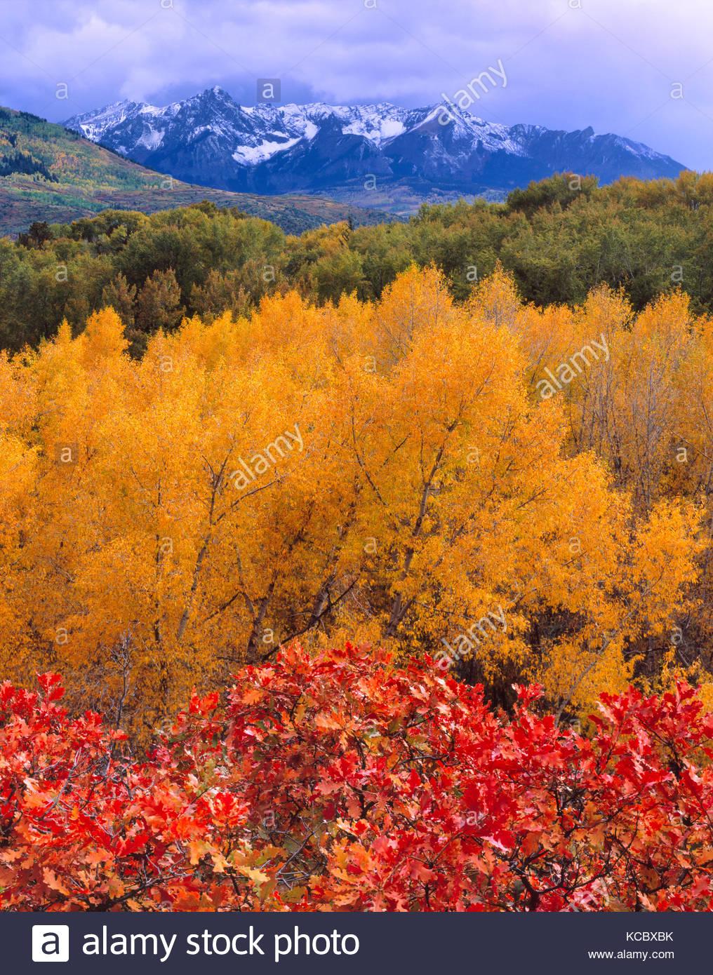 Gamble Oak, Narrowleaf Cottonwood and the San Juan Range, Uncompahgre National Forest, Colorado - Stock Image