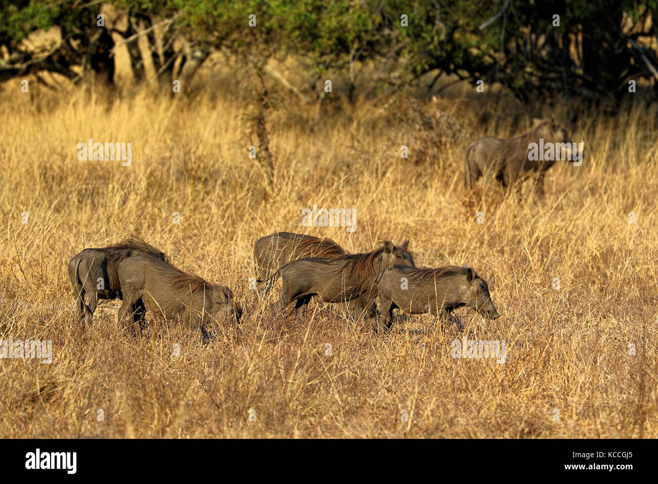 Warthogs (Phacochoerus aethiopicus) in the grass, Kruger National Park, South Africa - Stock Image