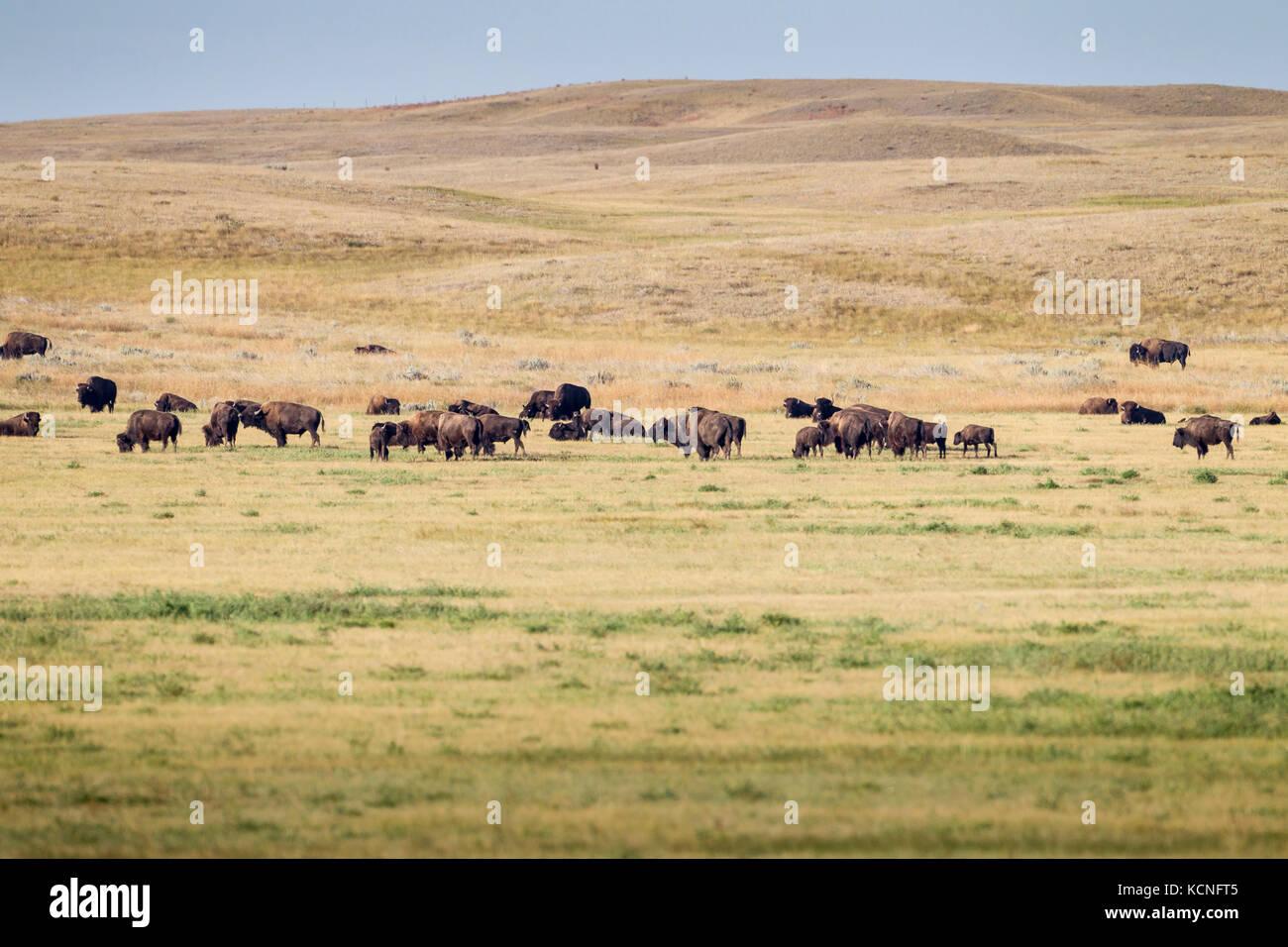 Plains Bison (Bison bison bison) in Grasslands National Park, Saskatchewan, Canada - the Bison roam freely throughout - Stock Image