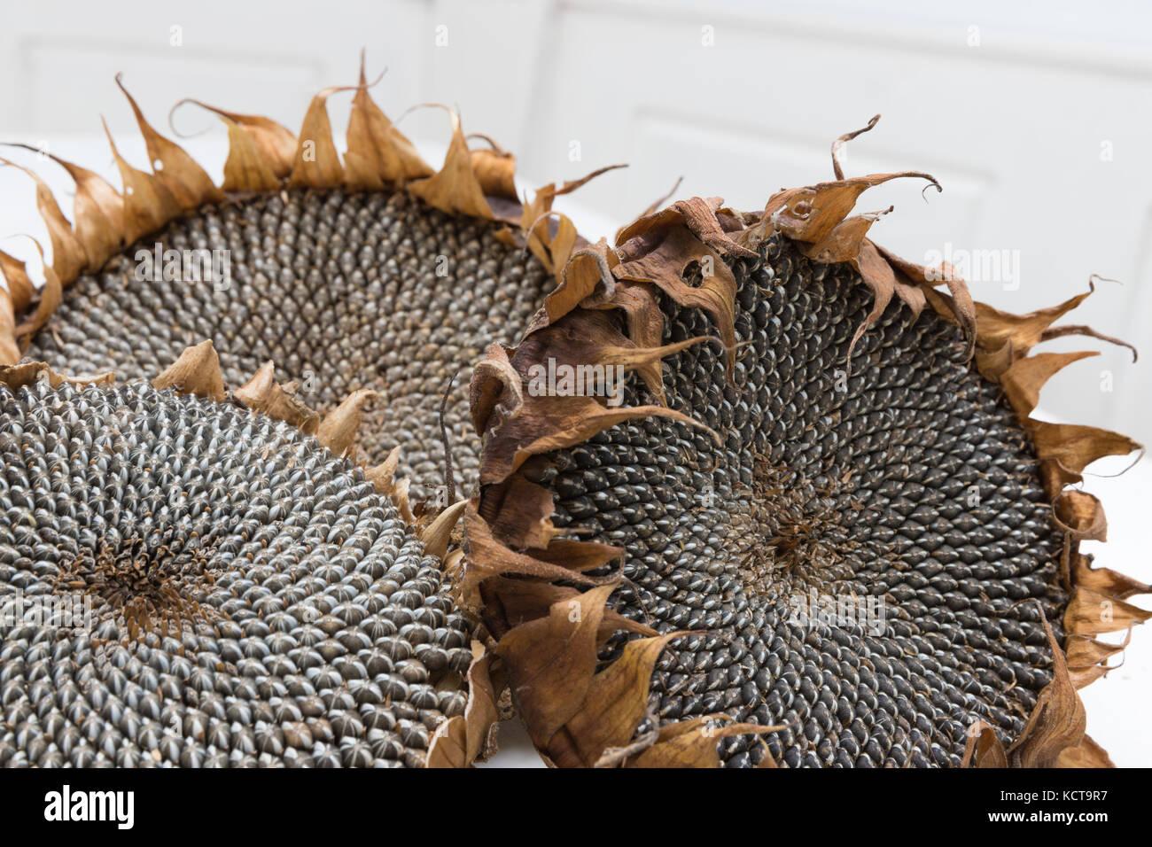 dried sunflower heads - Stock Image