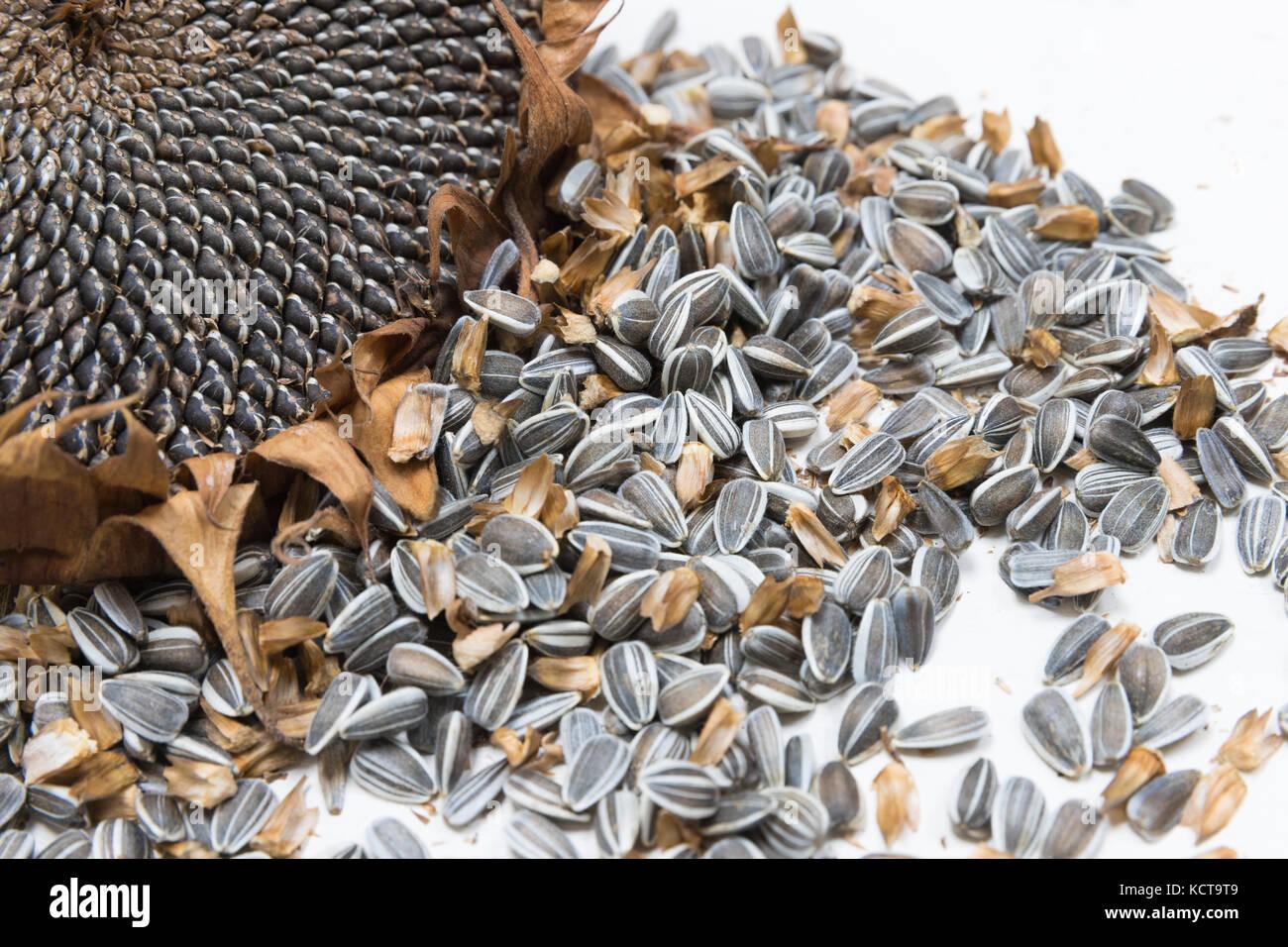 sunflower heads harvest seeds - Stock Image