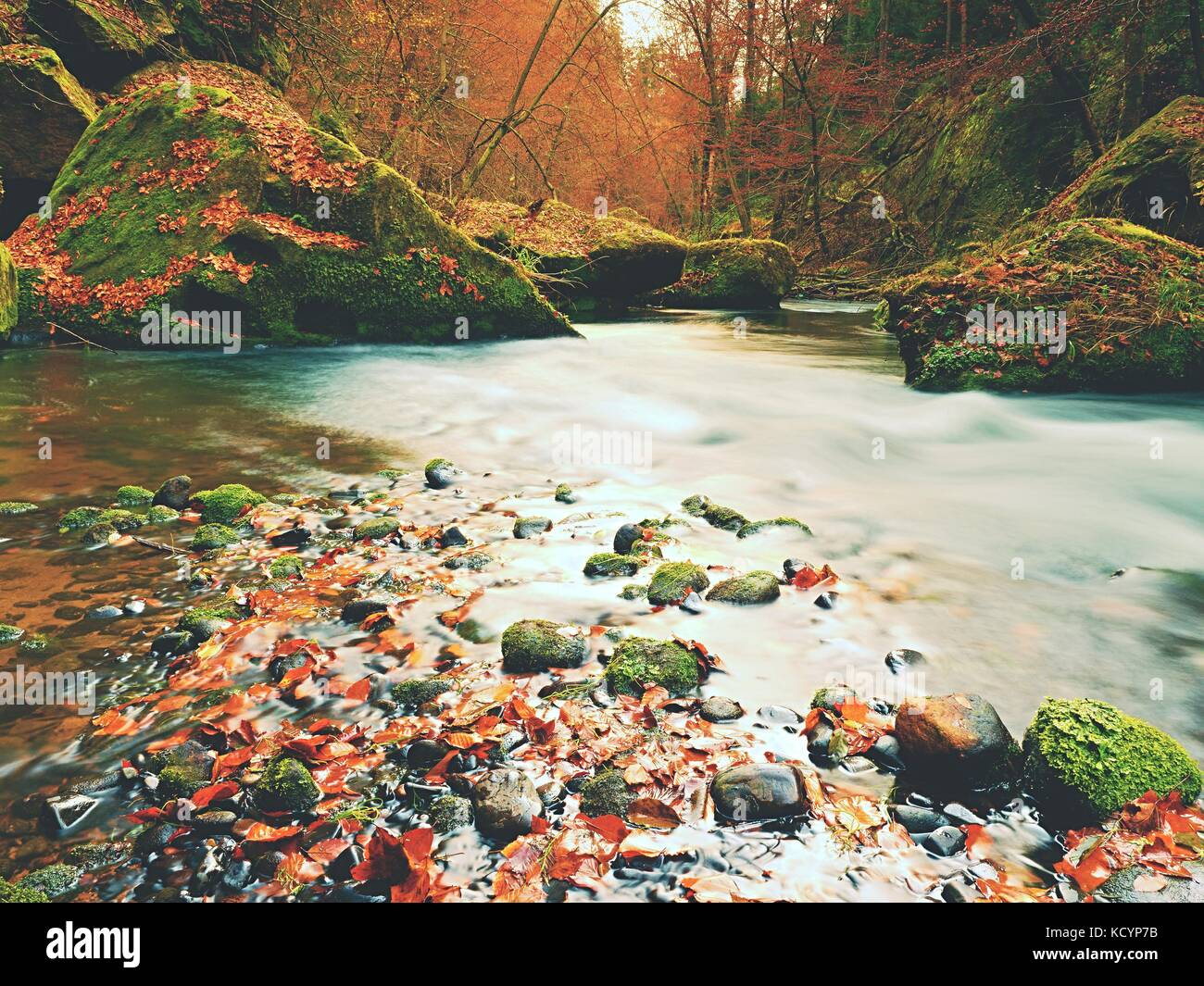 Stony bank of autumn mountain river covered by orange beech leaves. Fresh colorful leaves on branches above water - Stock Image