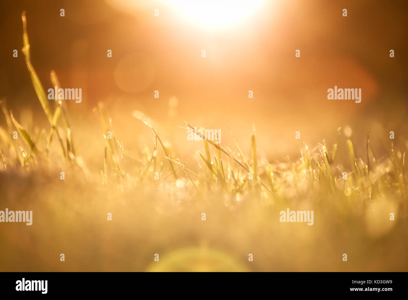 A warm, closeup macro shot of some blades of grass during sunset. - Stock Image