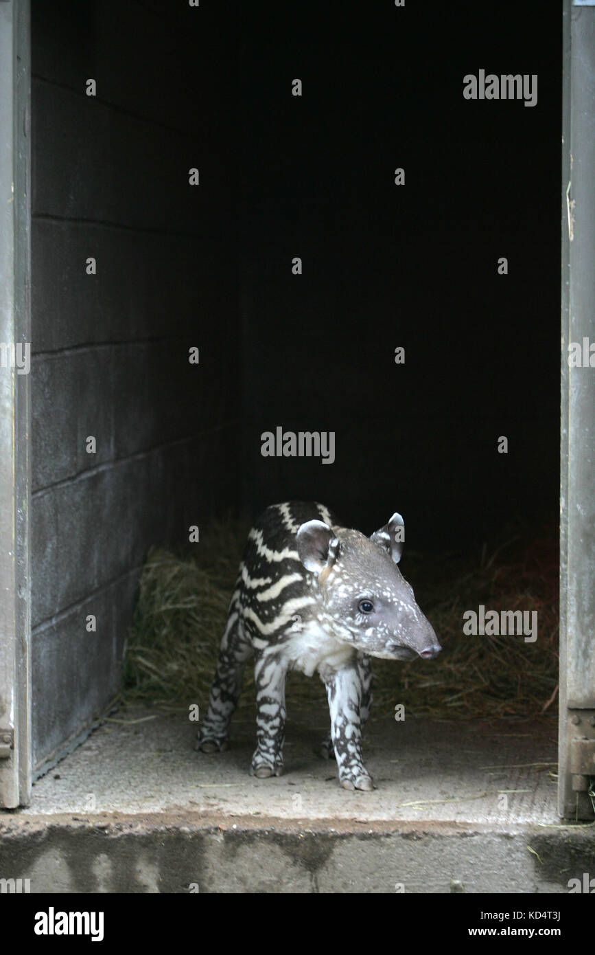 A baby brazilian tapir peers at the outside world from within a large doorway.Stock Photo
