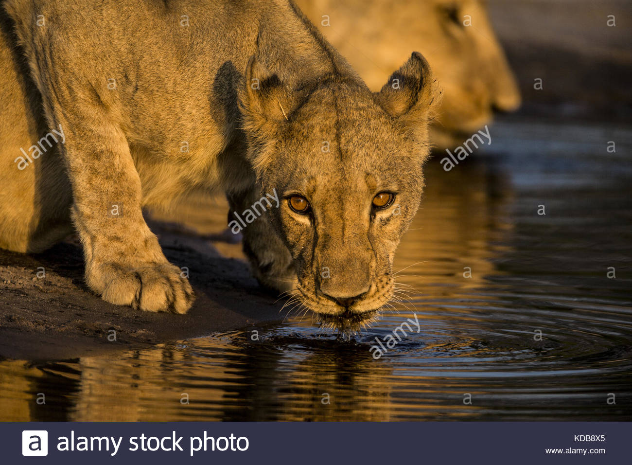 A lioness, Panthera leo, drinking from a spillway at sunset. - Stock Image