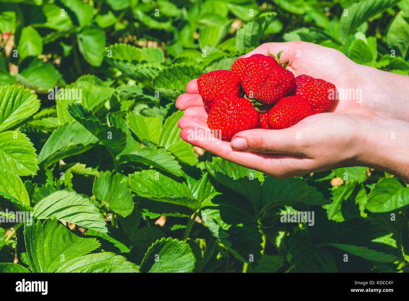 Fresh picked delicious strawberries held in hands over strawberry plants - Stock Image