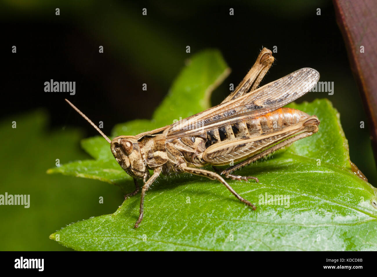 adult-common-field-grasshopper-chorthippus-brunneus-a-frequent-uk-KDCD8B.jpg