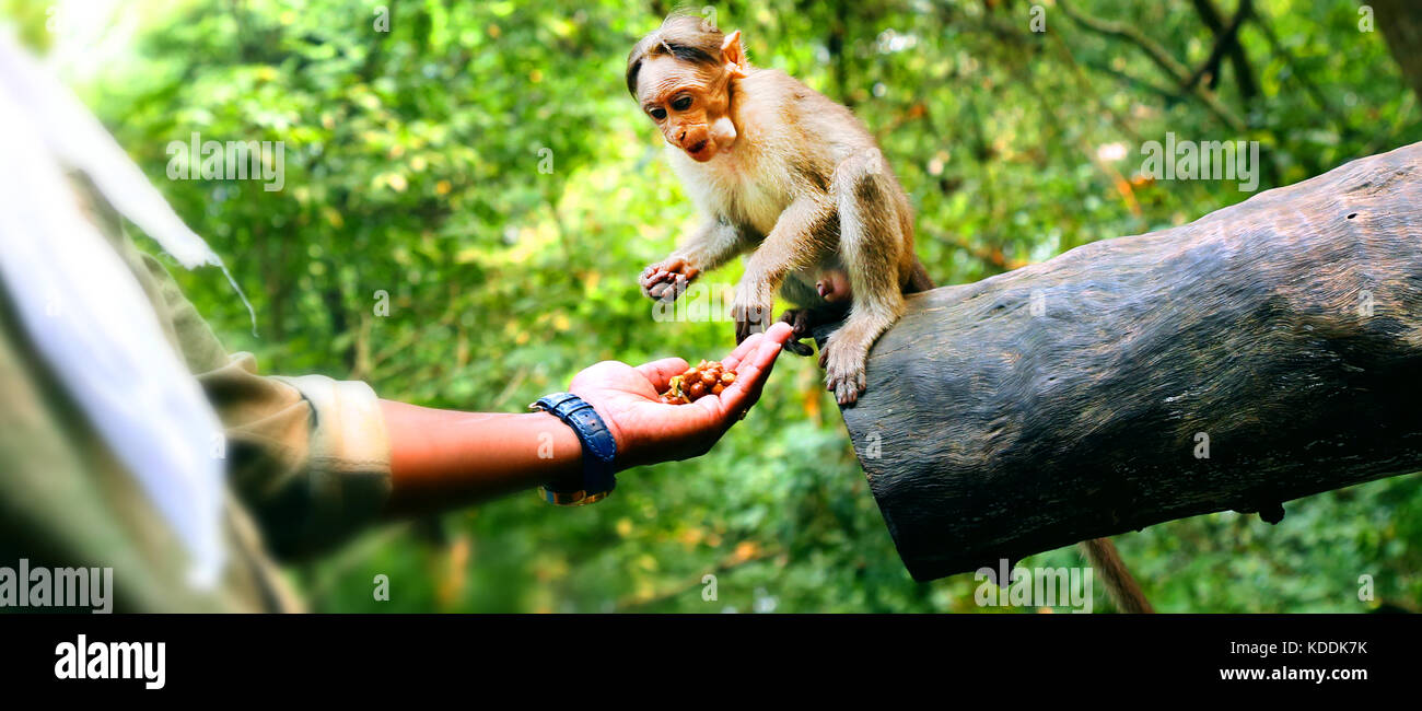 Man feeding a small monkey - Stock Image