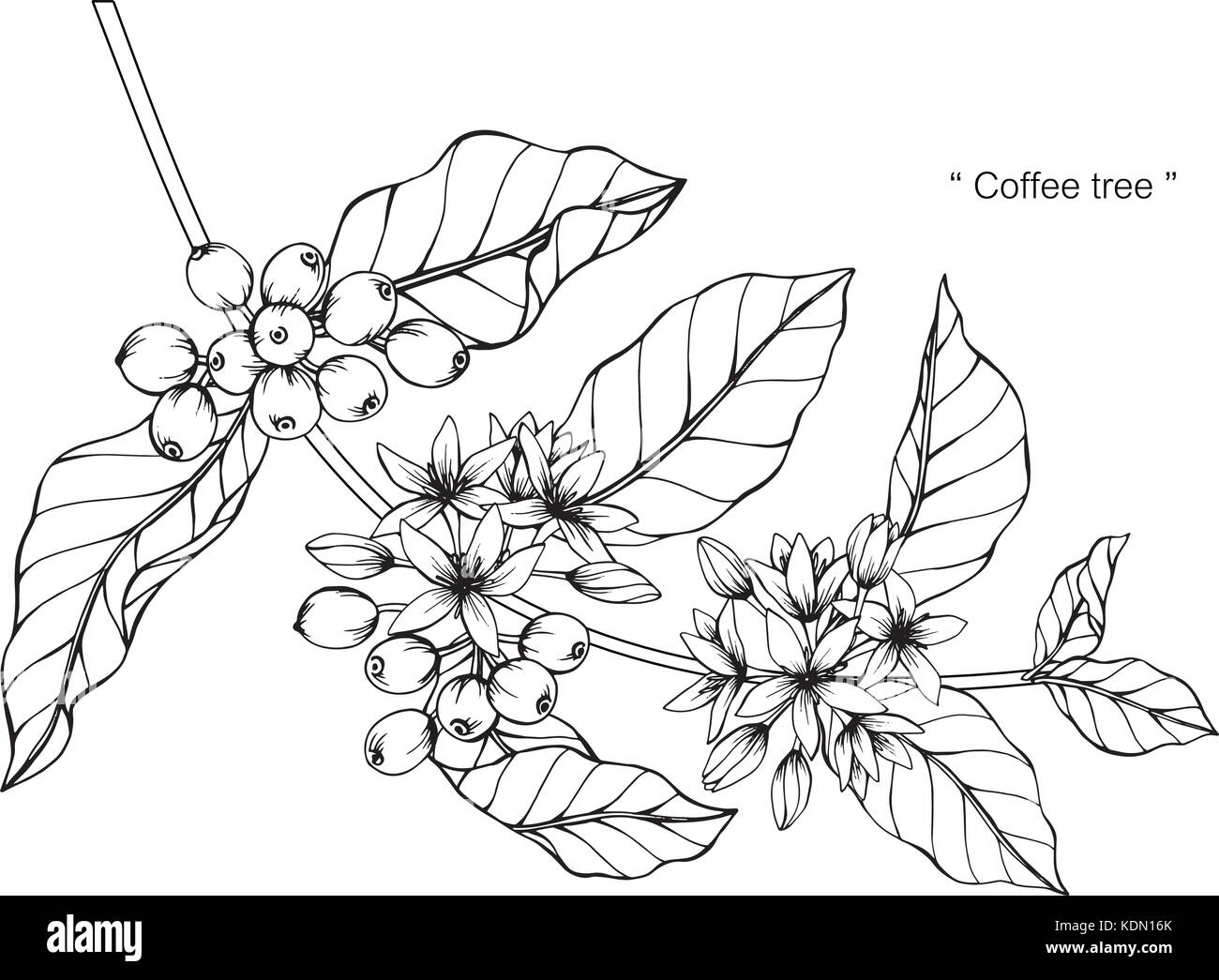 Coffee Tree Drawing Illustration Black And White With Line Art