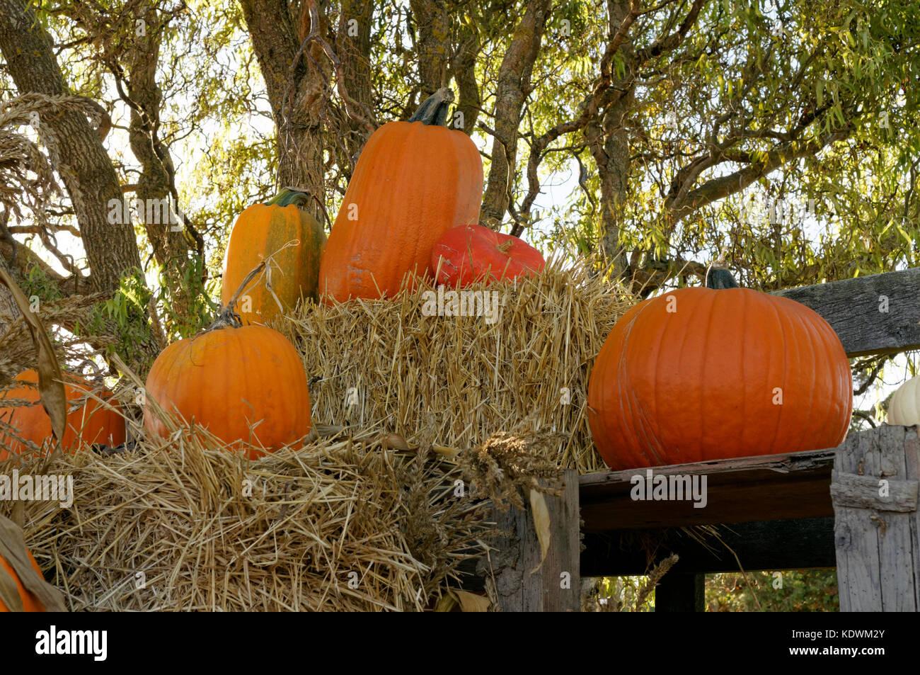 display-of-pumpkins-and-bales-of-hay-at-