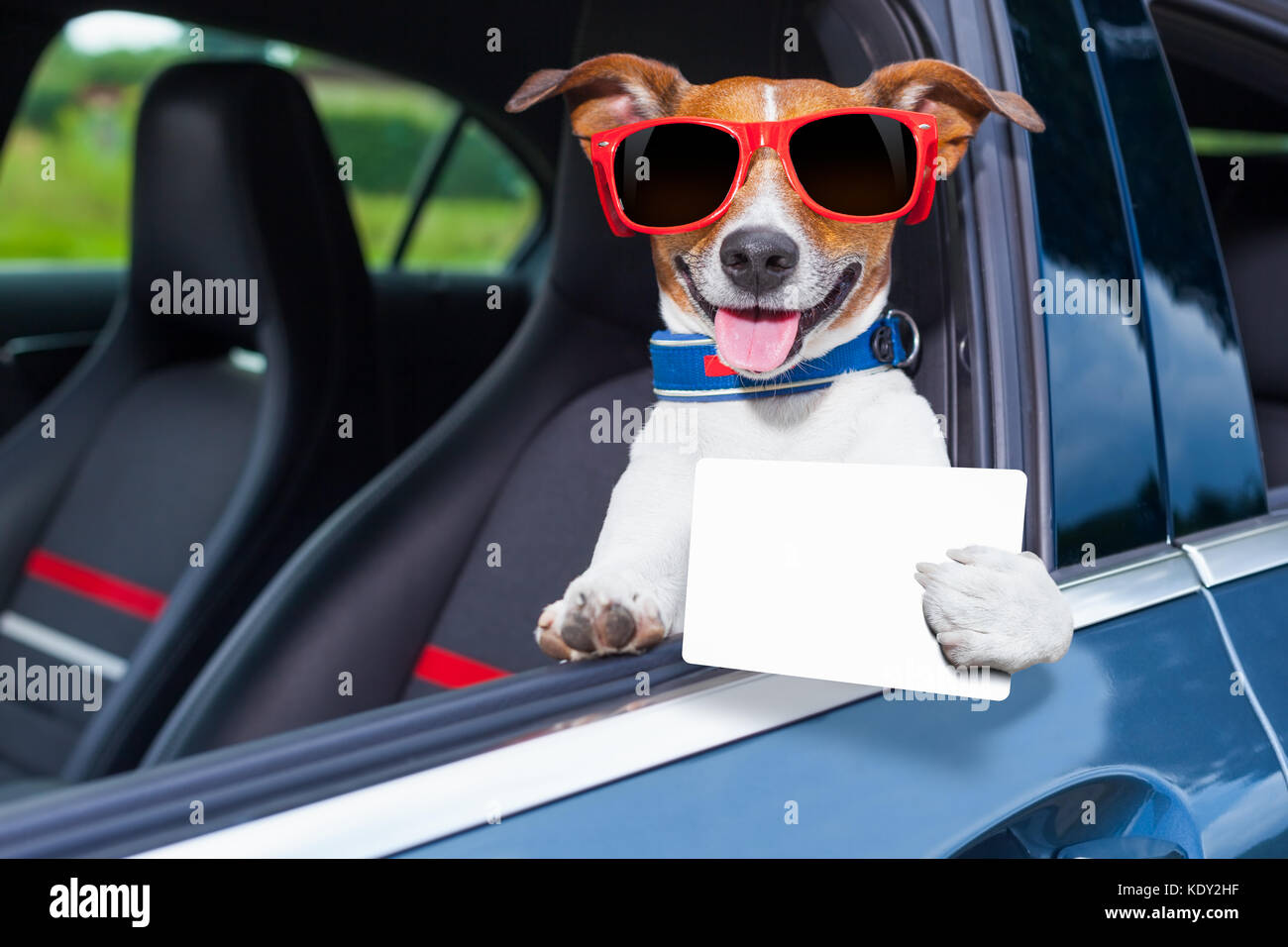 dog leaning out the car window showing a blank and empty drivers license - Stock Image