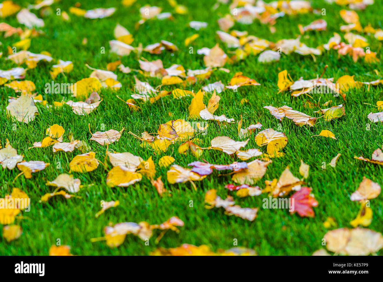 Wet yellow linden tree leaves on a bright green grass. Golden autumn ...