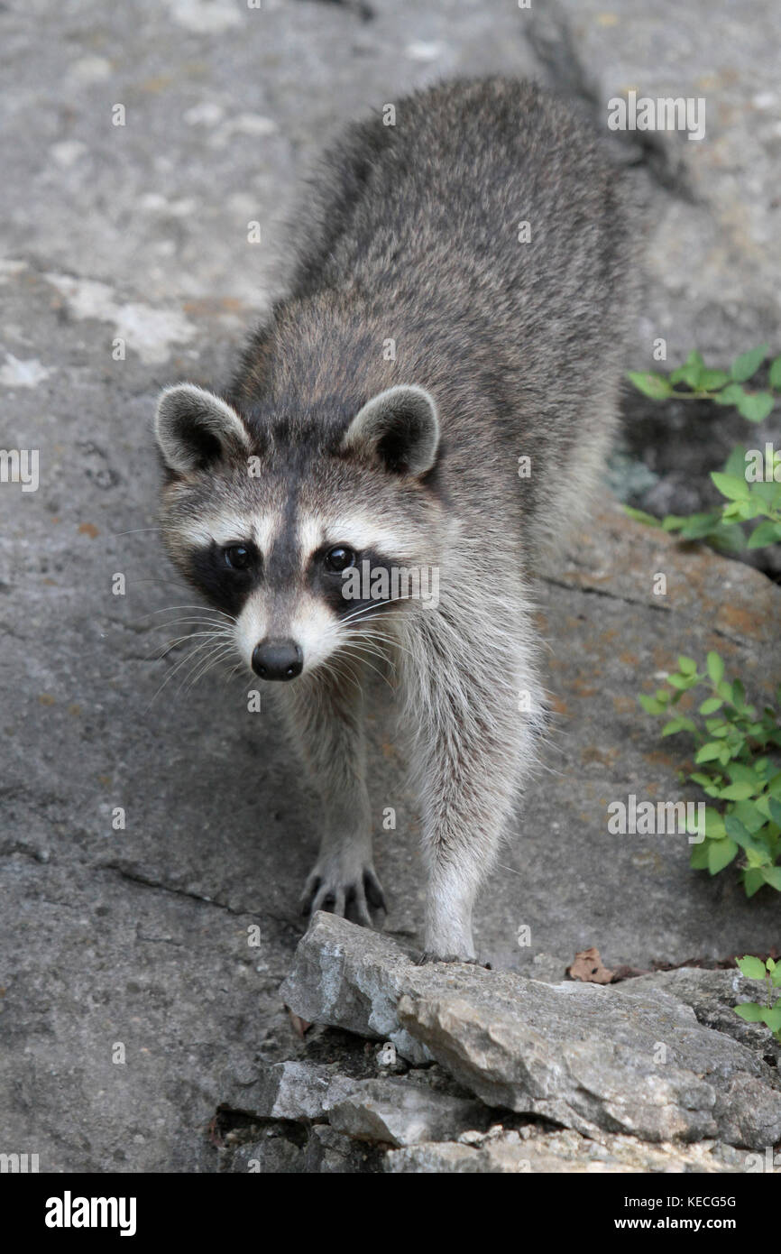 A wily raccoon - Stock Image