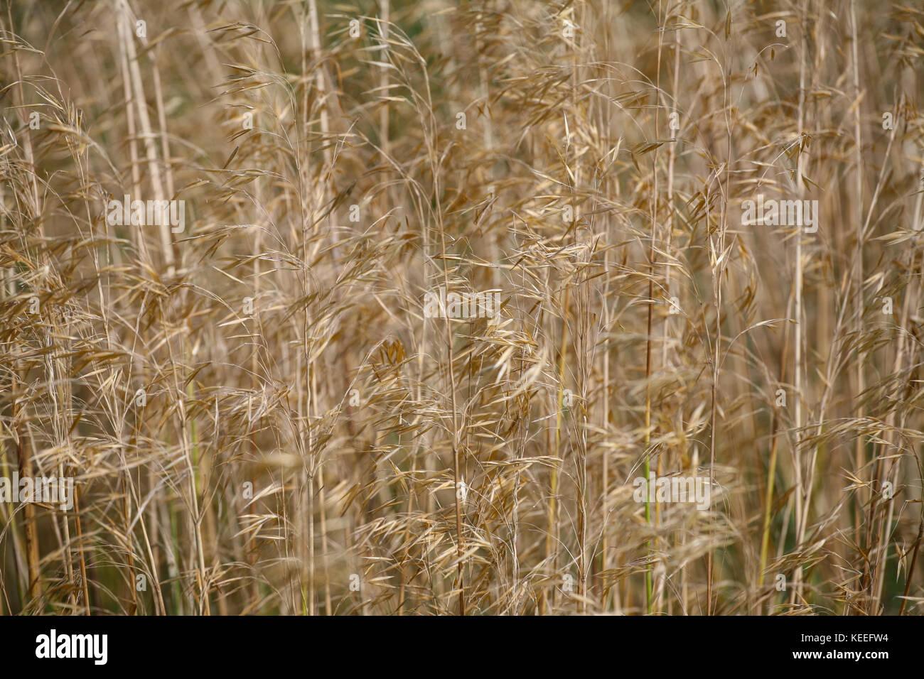 Stipa gigantea - seedheads, close up - Stock Image