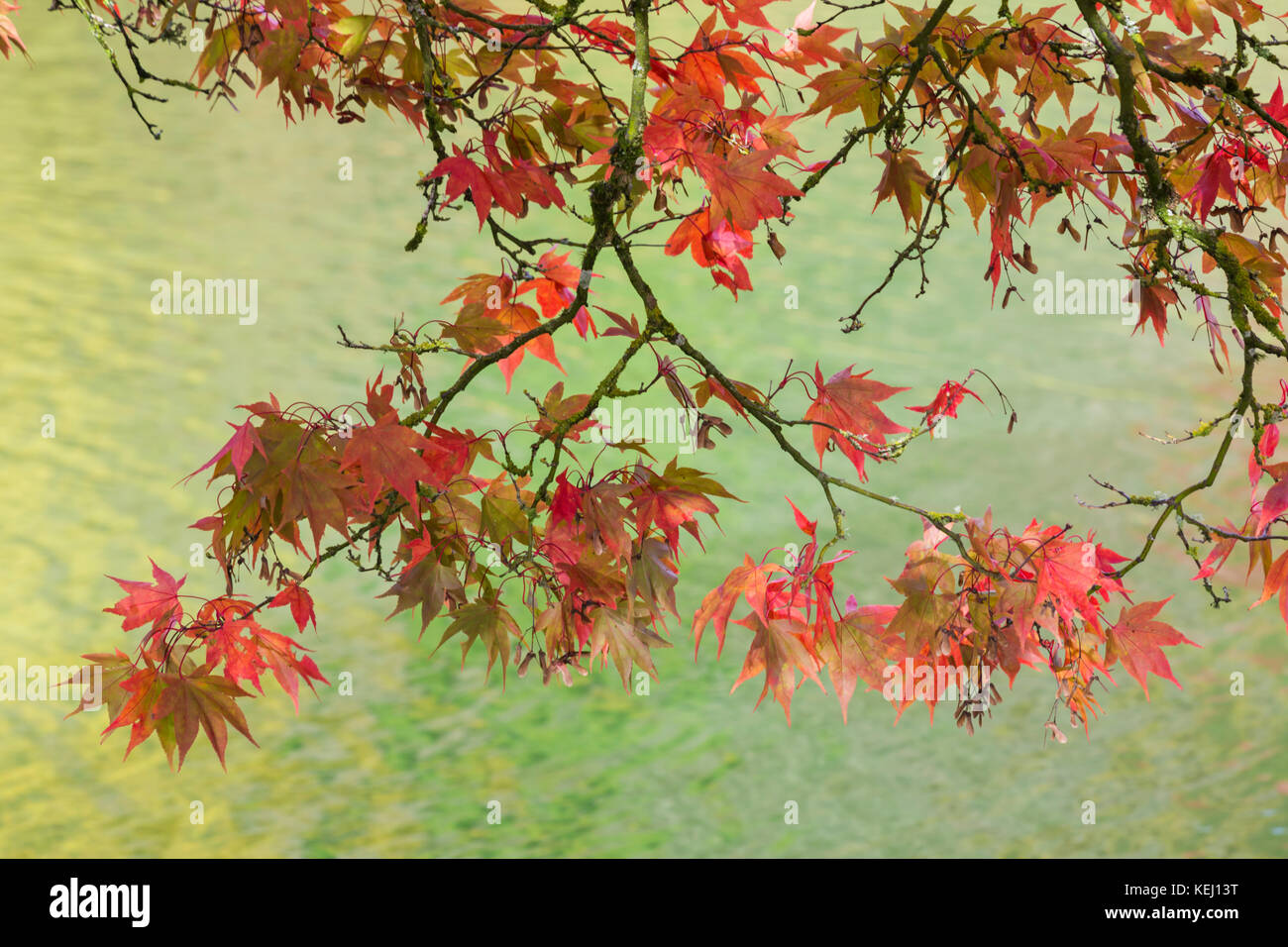 Red Acer maple leaves contrasting against blue green water - Stock Image