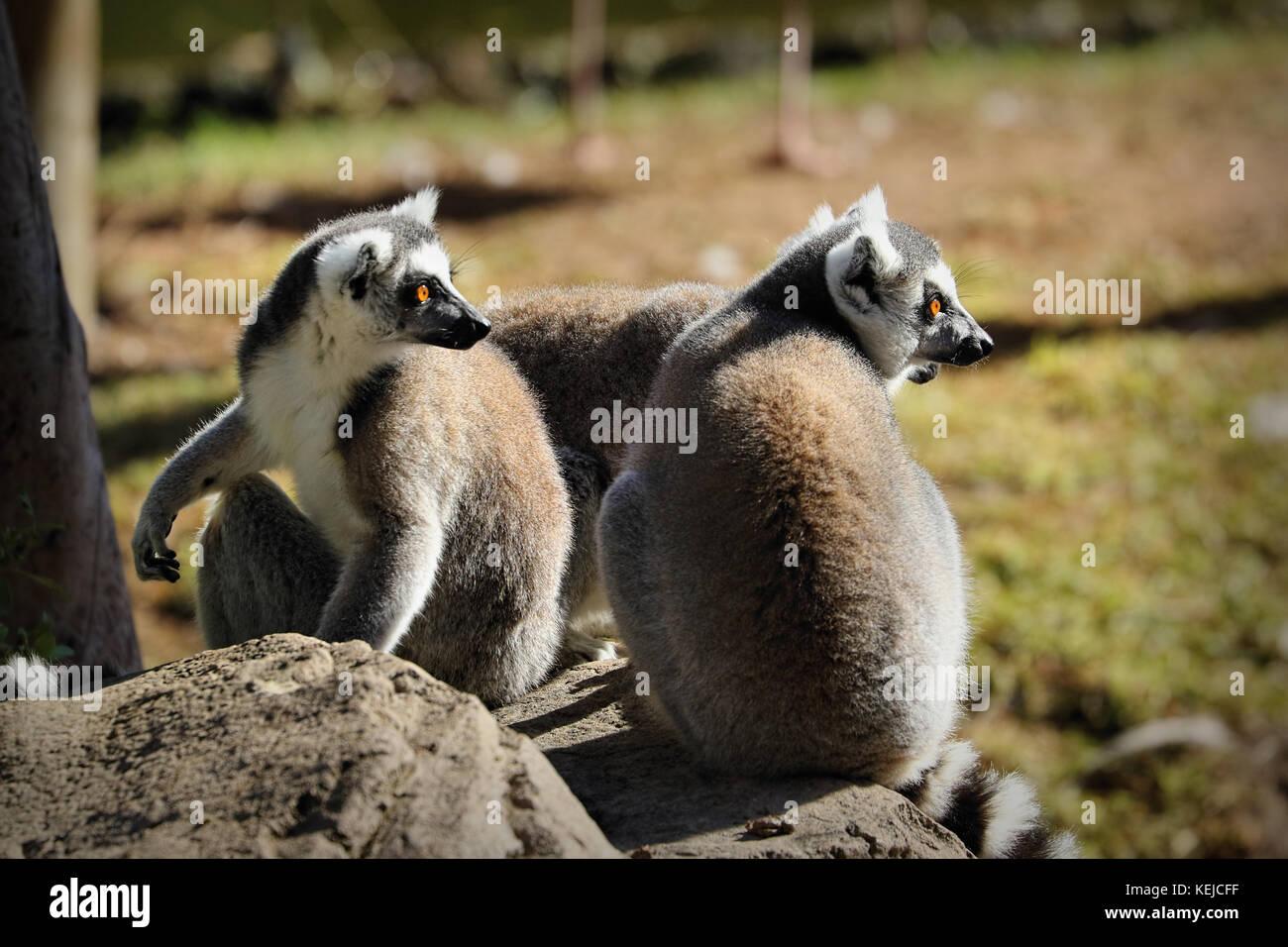 Ring-tailed lemur (lemur catta), South Africa - Stock Image