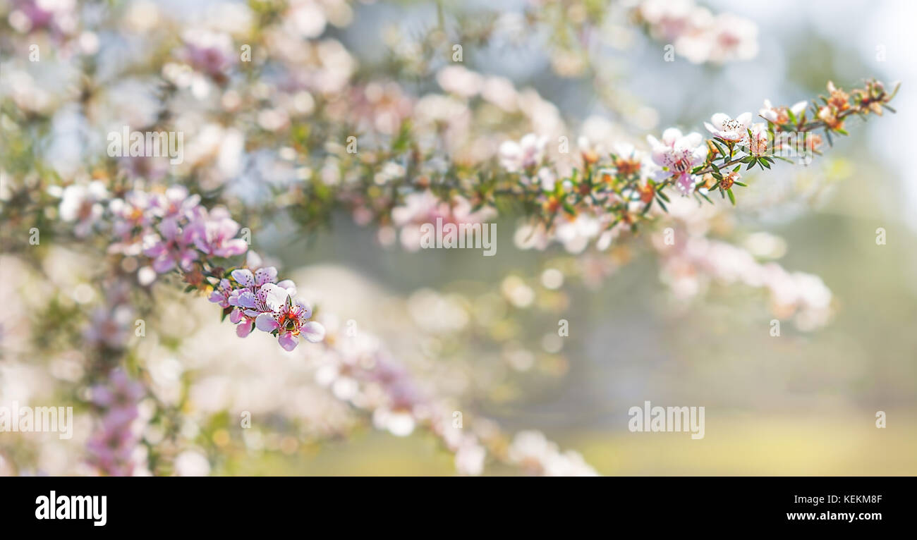 Pink Australian leptospermum flowers on a Spring background for condolences sympathy card backdrop - Stock Image