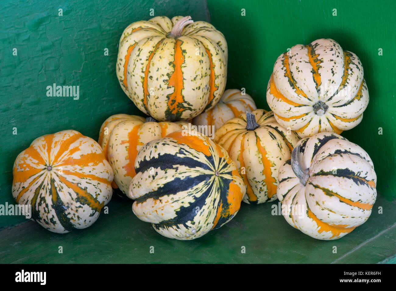 Harvested  Carnival winter squash 'Cucurbita pepo'. - Stock Image
