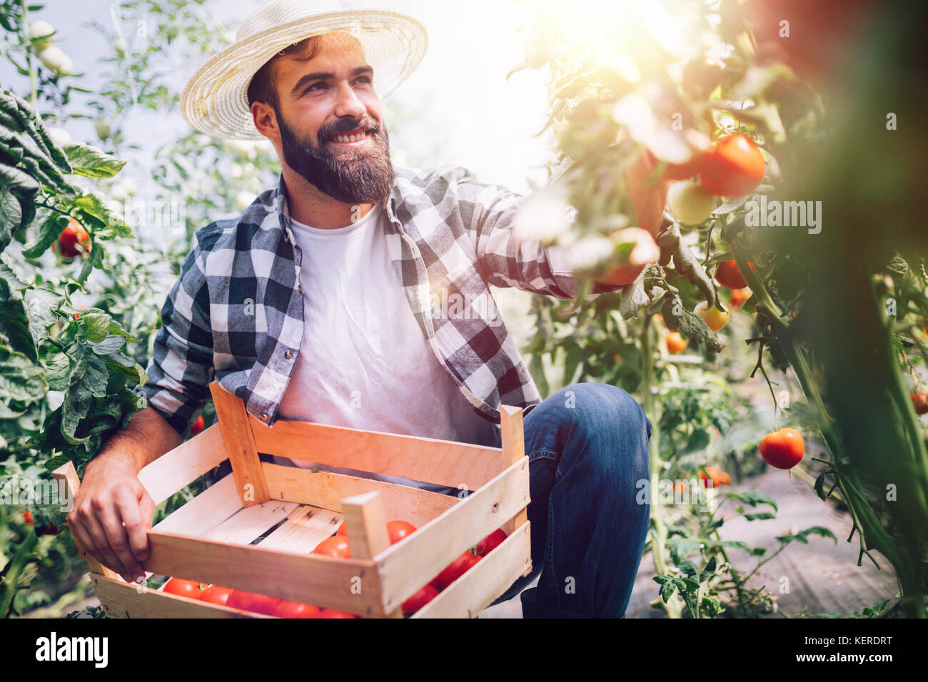 Male farmer picking fresh tomatoes from his hothouse garden - Stock Image