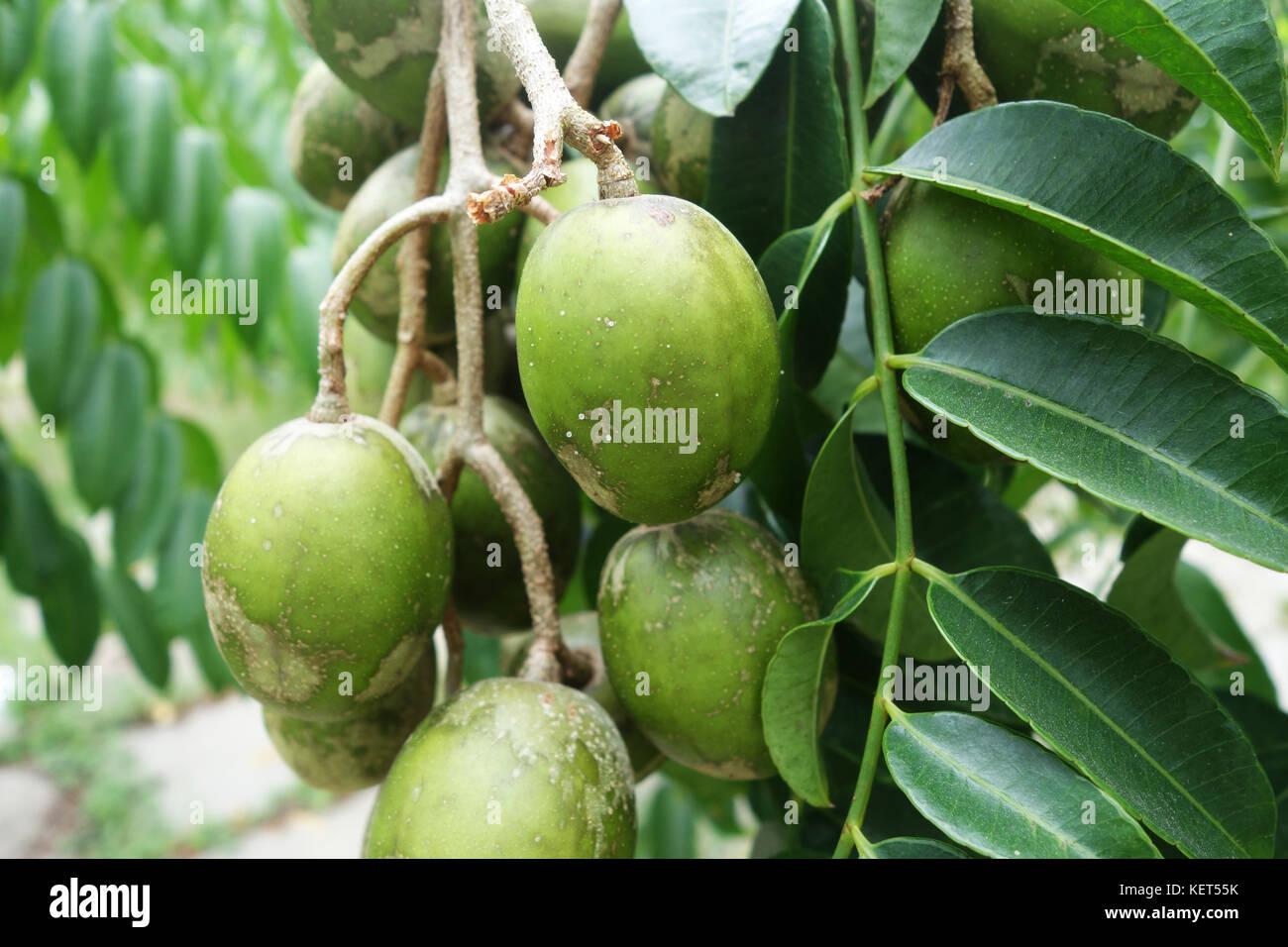 Hog Plum Stock Photos Hog Plum Stock Images Alamy