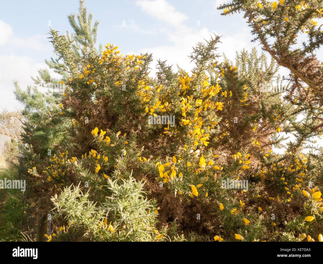 Beautiful Stunning Growing Yellow Bright Gorse Flowers On Spiky Bush