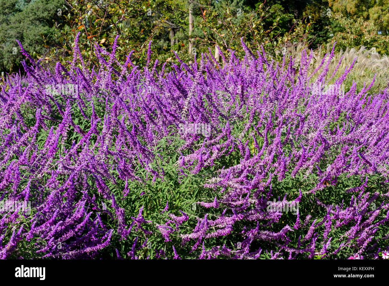 how to grow russian sage from seed