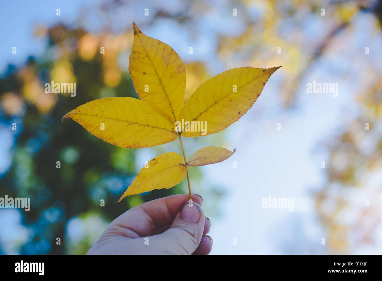 Hand holding yellow autumn leaf against the sky and sun - Stock Image